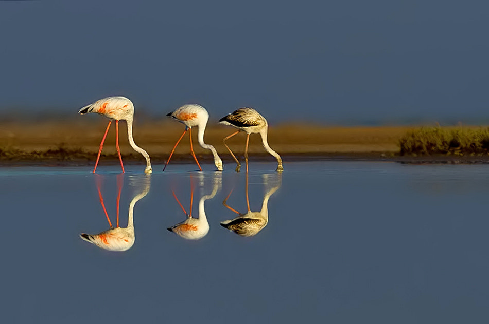 Photograph Flamingos Framed by Nitin  Prabhudesai on 500px