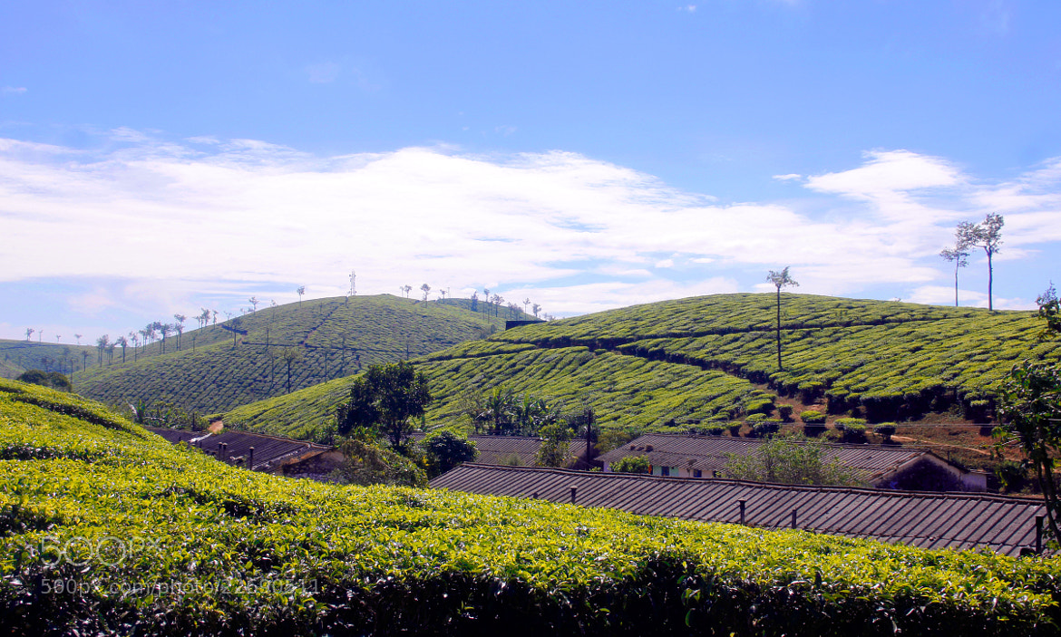 Photograph TEA FOREST by JIBIN PHILIP on 500px
