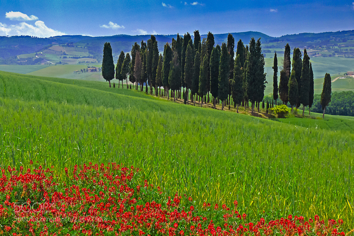 Photograph Cypress and Poppies by Tom Brichta on 500px