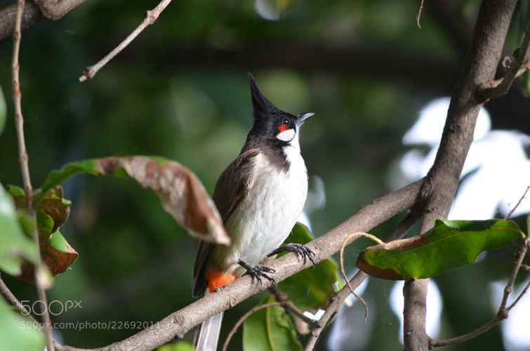 Photograph Red-whiskered Bulbul by Lola  on 500px