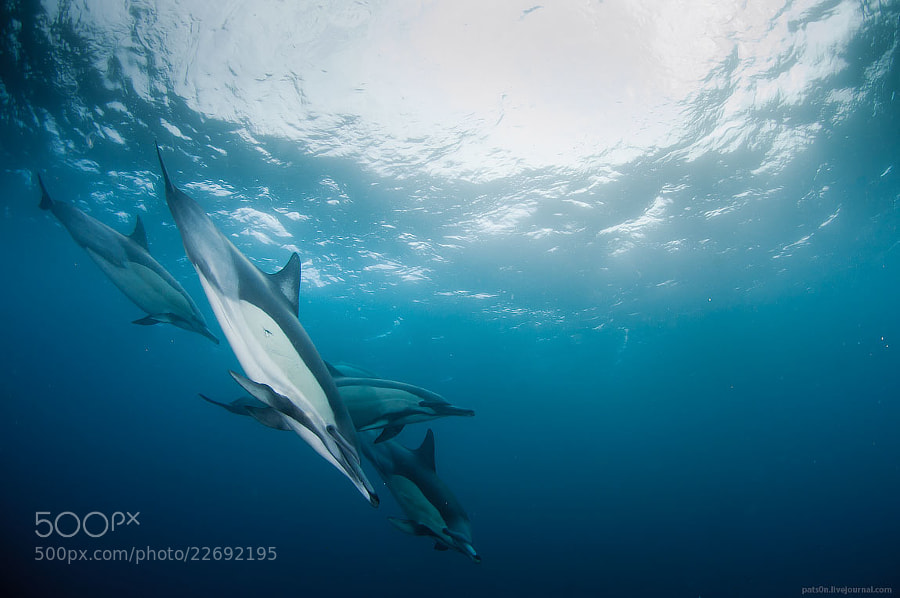 Photograph dolphin fantasy by Alexander Safonov on 500px