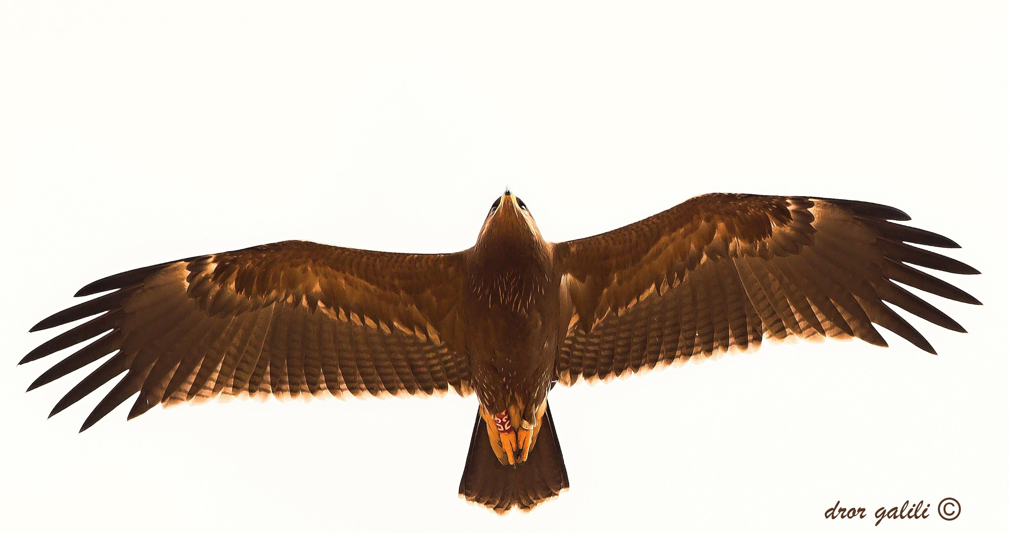 Photograph lesser spotted eagle-hula valy.israel/ by dror galili on 500px
