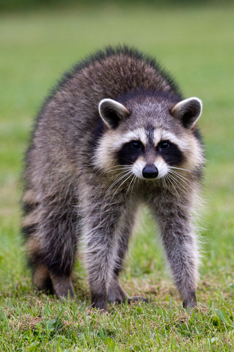 Photograph Confused Racoon  by Max Fréchette on 500px