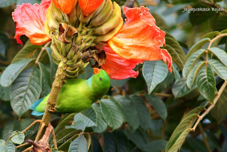 Photograph Vernon Hanging Parrot by Jayaprakash Bojan on 500px