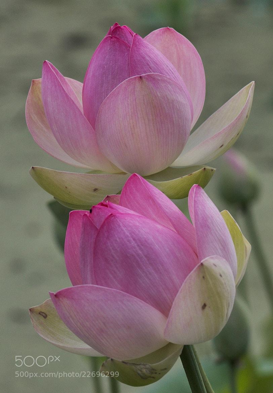 Photograph Beautiful Lillies by MondoPhotography . on 500px