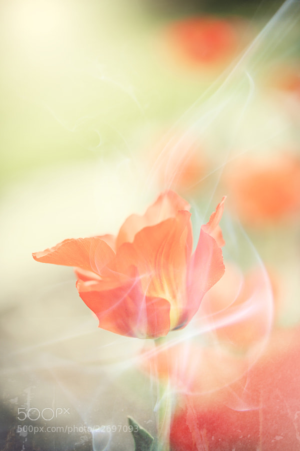Photograph Flower and Smoke by Amir Kaljikovic on 500px