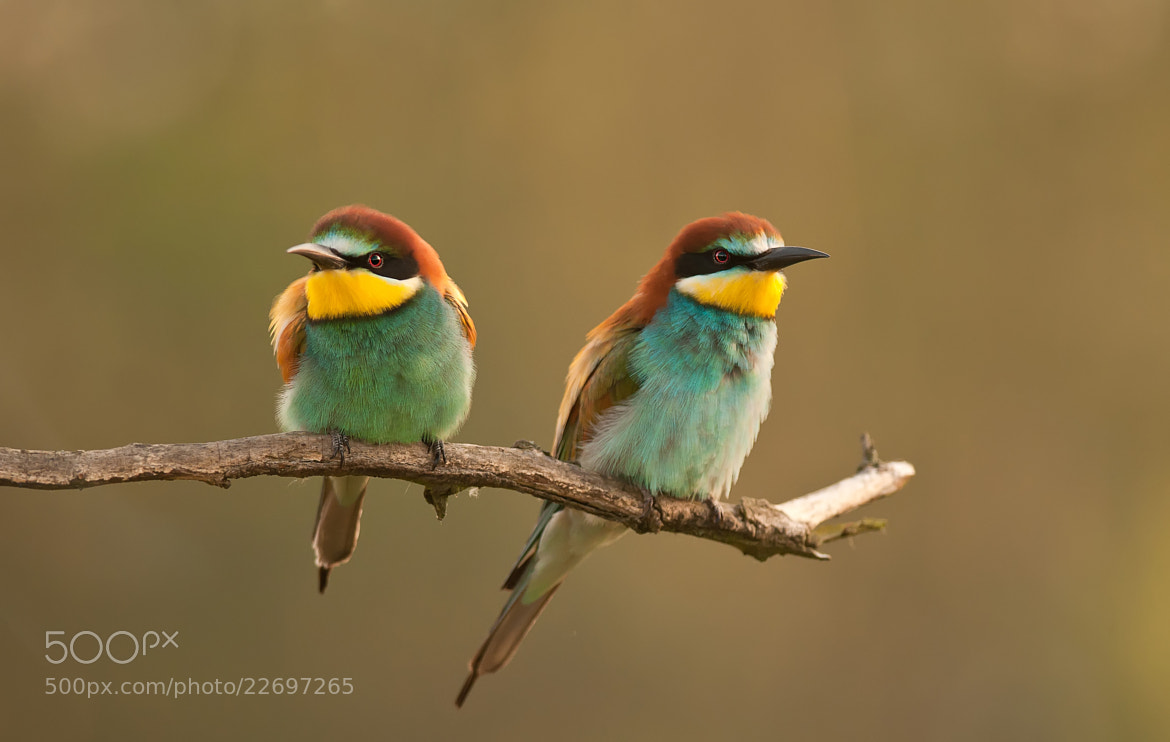 Photograph Bee-eater Pair by Csilla Zelko on 500px
