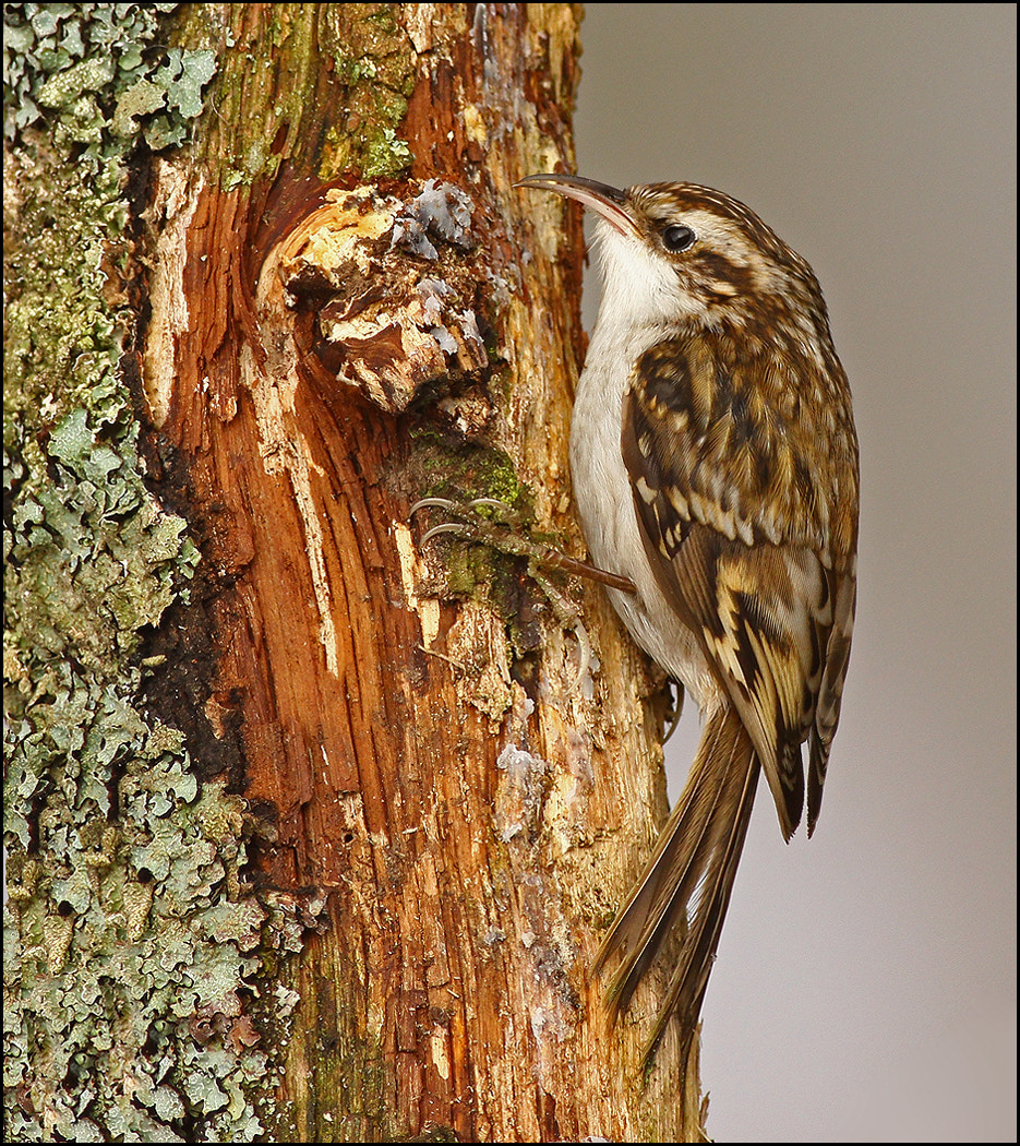 Photograph Treecreeper by Alan Coles on 500px
