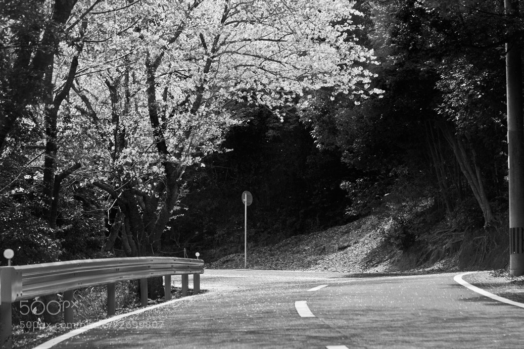 Photograph Cherry Blossom Road by Tim Grey on 500px