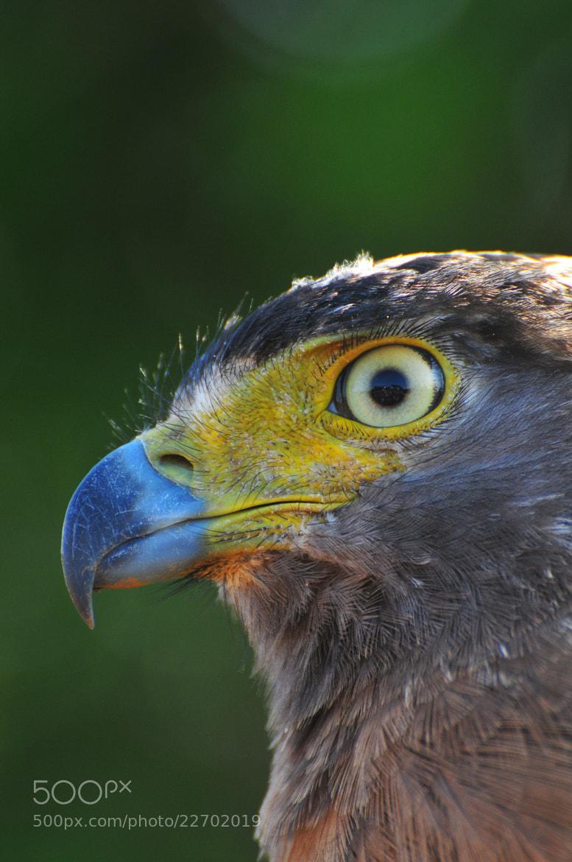 Photograph Eagle Closeup by Heshan  de Mel on 500px