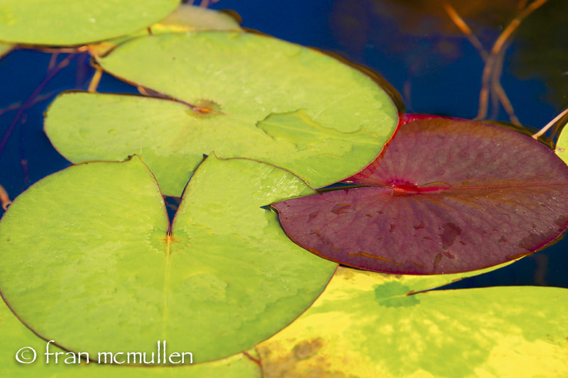 Photograph Lily Pads by Fran McMullen on 500px