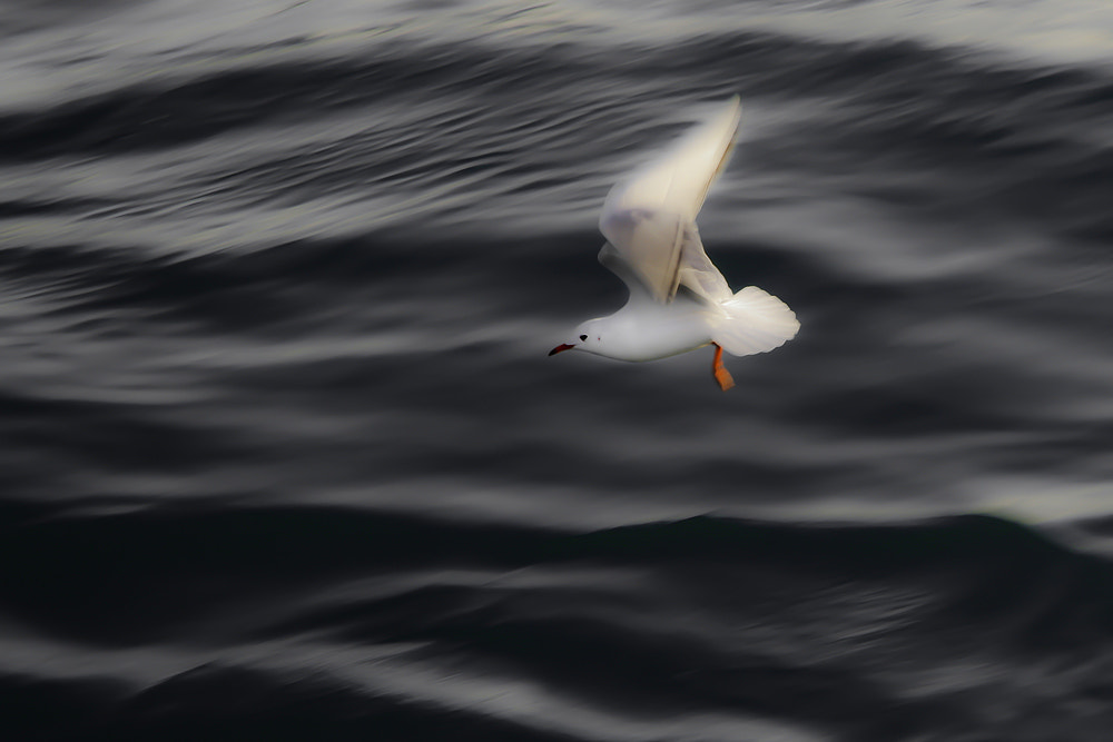 Photograph Gull by Domen  Dolenc on 500px