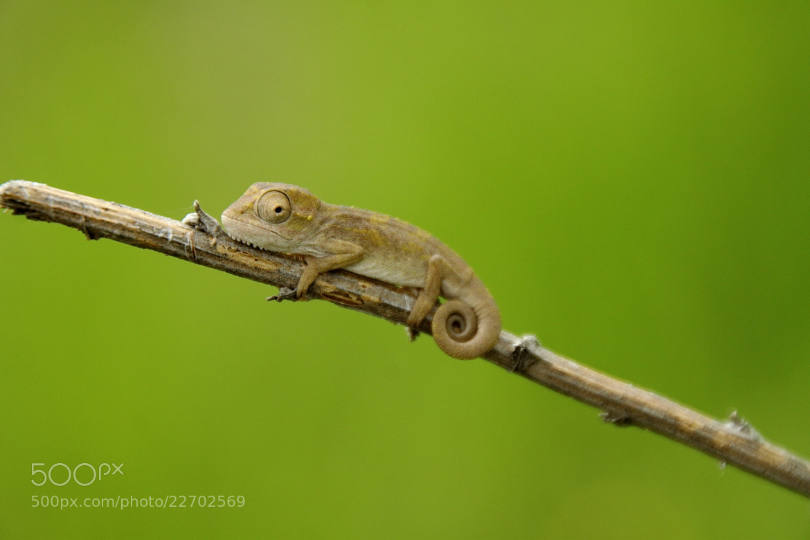 Photograph Drakensberg Dwarf Chameleon by David Berliner on 500px