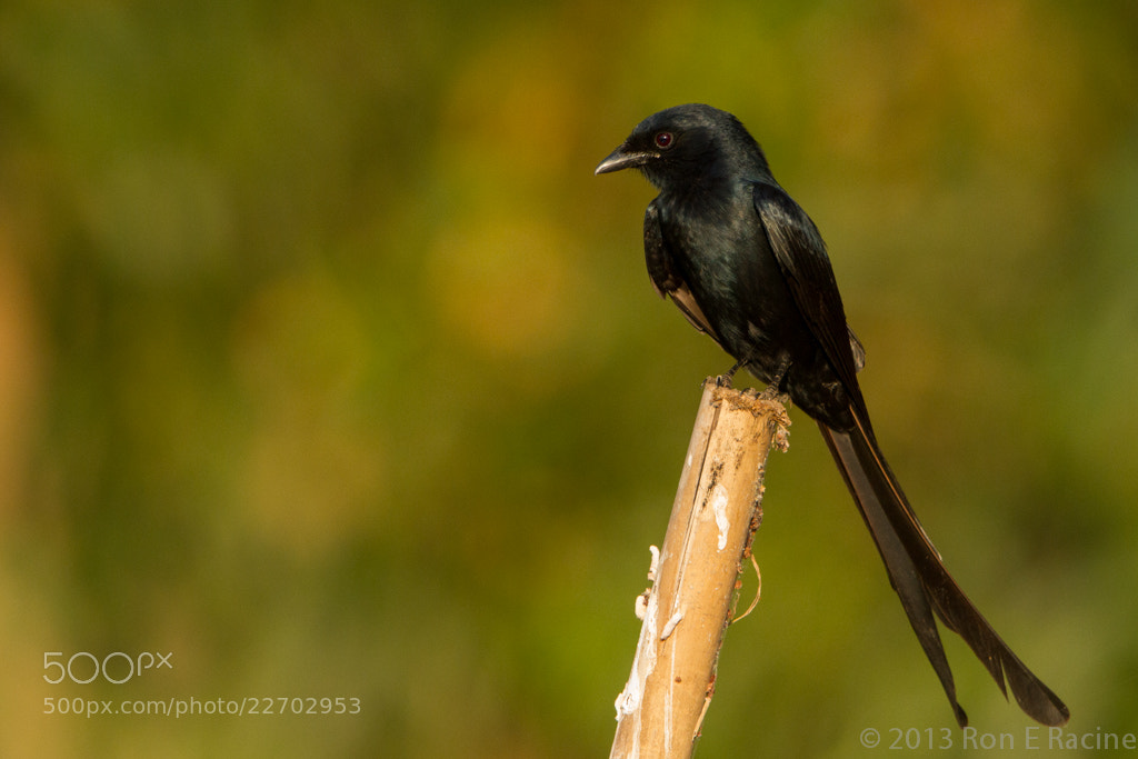 Photograph Black Drongo by Ron E Racine on 500px