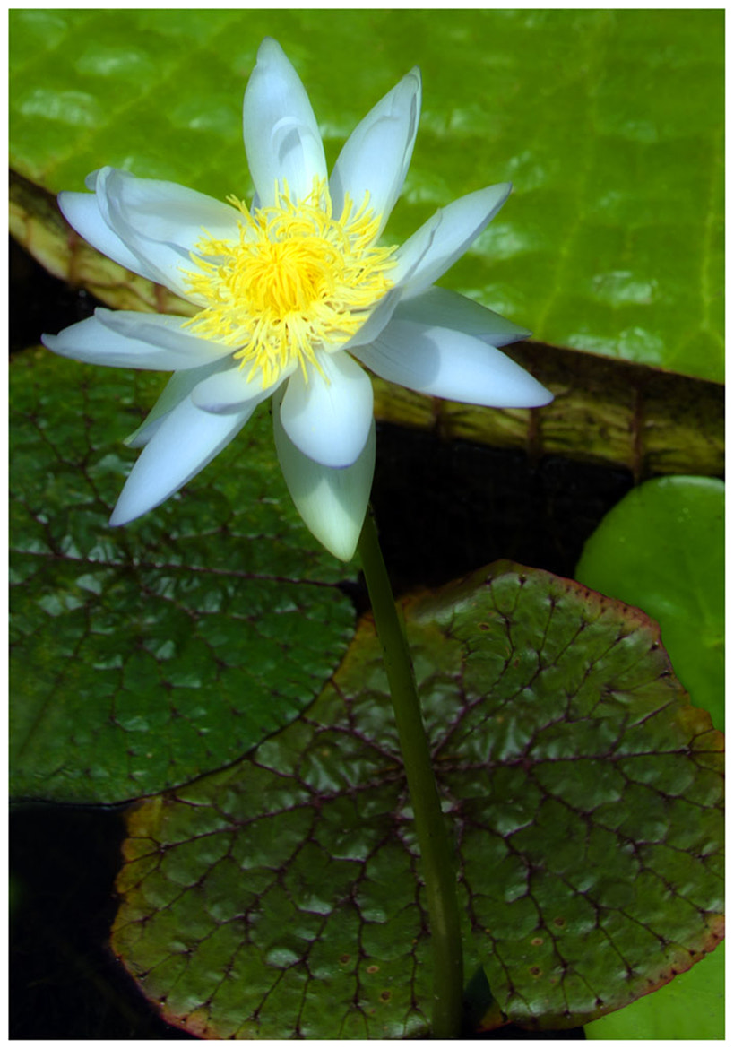 Photograph Lotus by Tony Harding on 500px