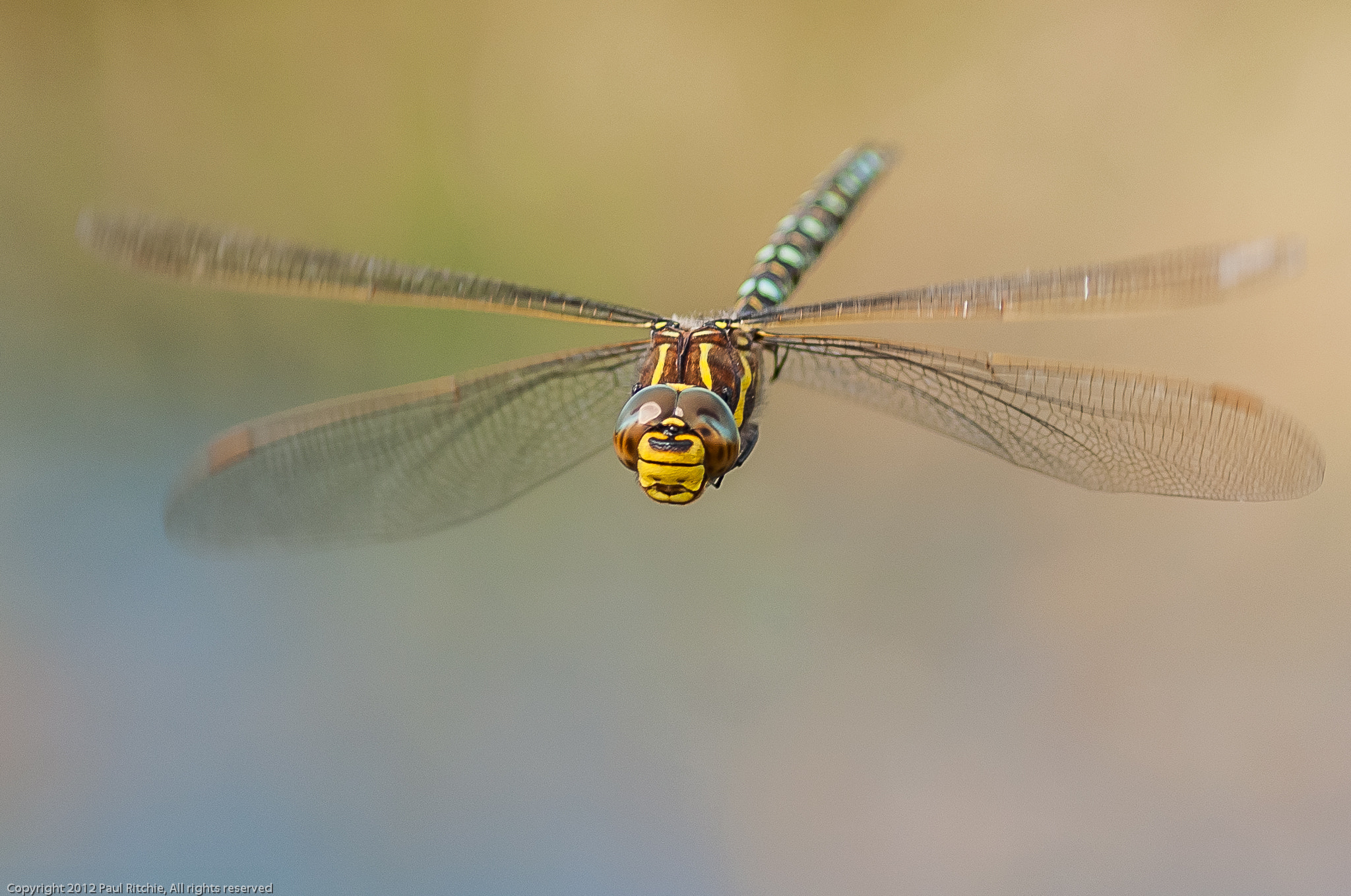 Photograph Common Hawker In-flight by Paul Ritchie on 500px