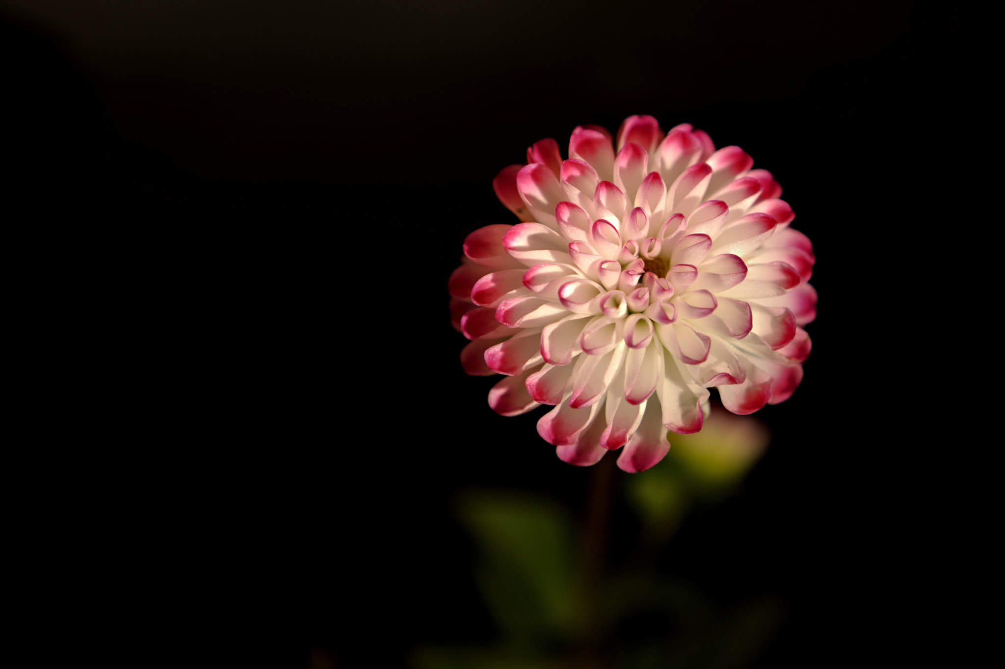 Photograph dahlia by Alessandro Renzi on 500px