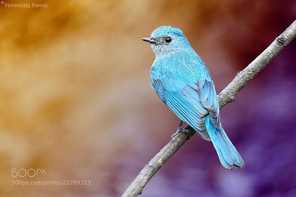 Photograph Verditer Flycatcher by Vishwatej Pawar on 500px