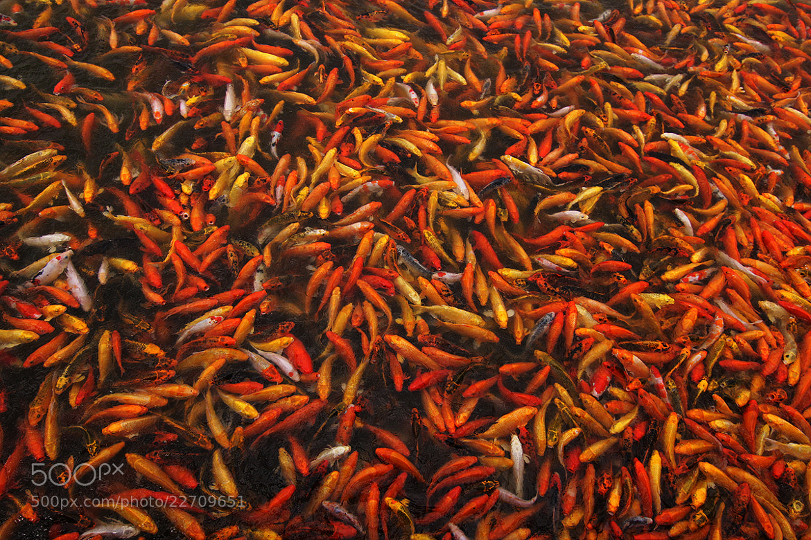 Photograph Koi Universe by Junel Mujar on 500px