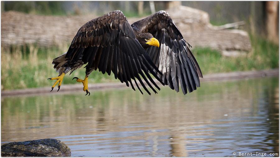 Steller's sea eagle by Bernt-Inge Madsen on 500px.com