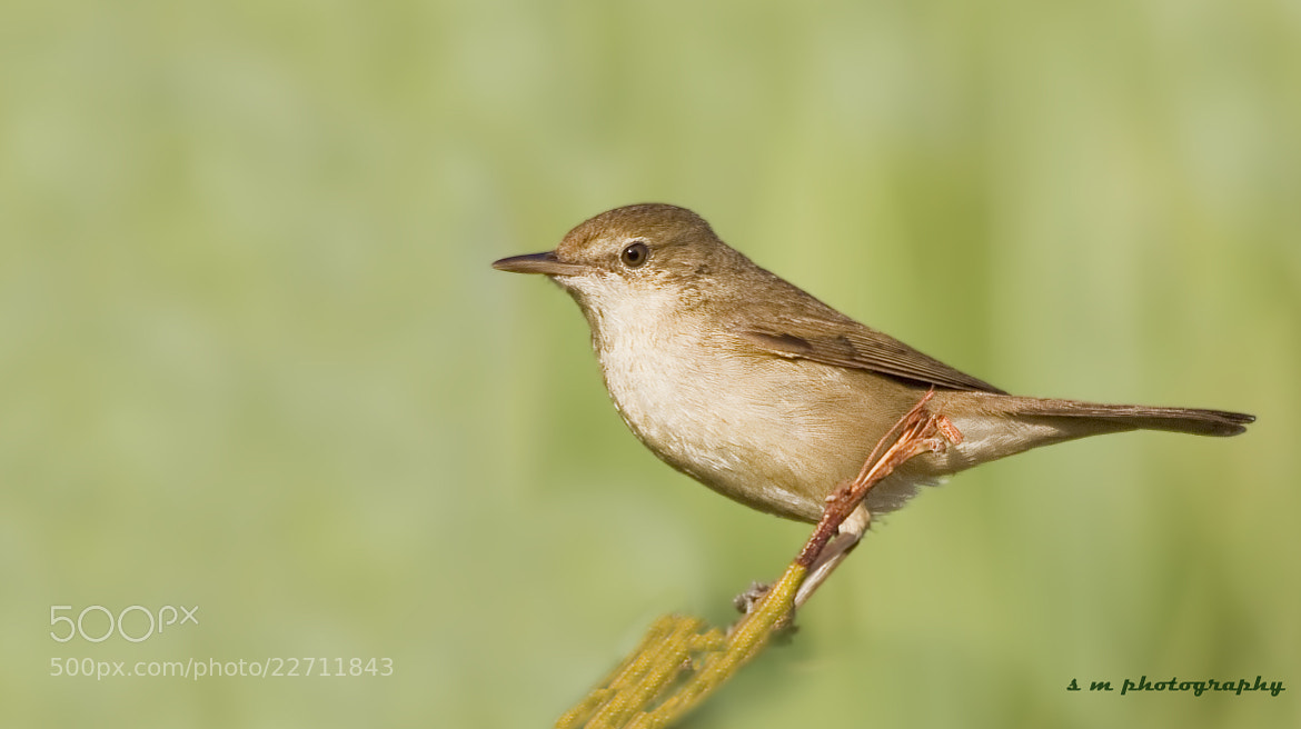 Photograph The Blyth's Reed Warbler by Santosh Mulik on 500px