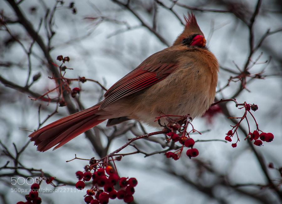 Cardinal feasts on berries.