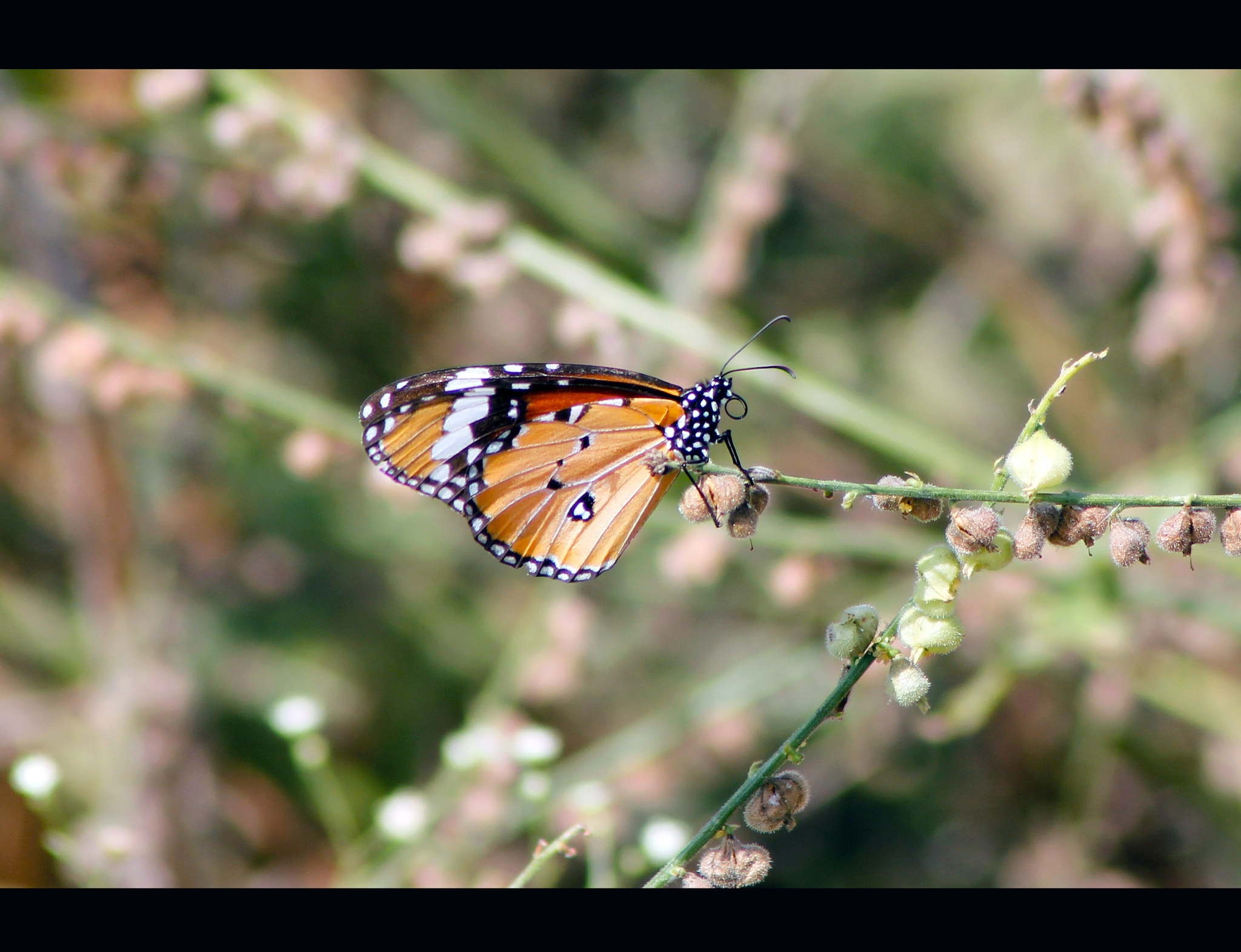 Photograph BUTTERFLY by JIBIN PHILIP on 500px