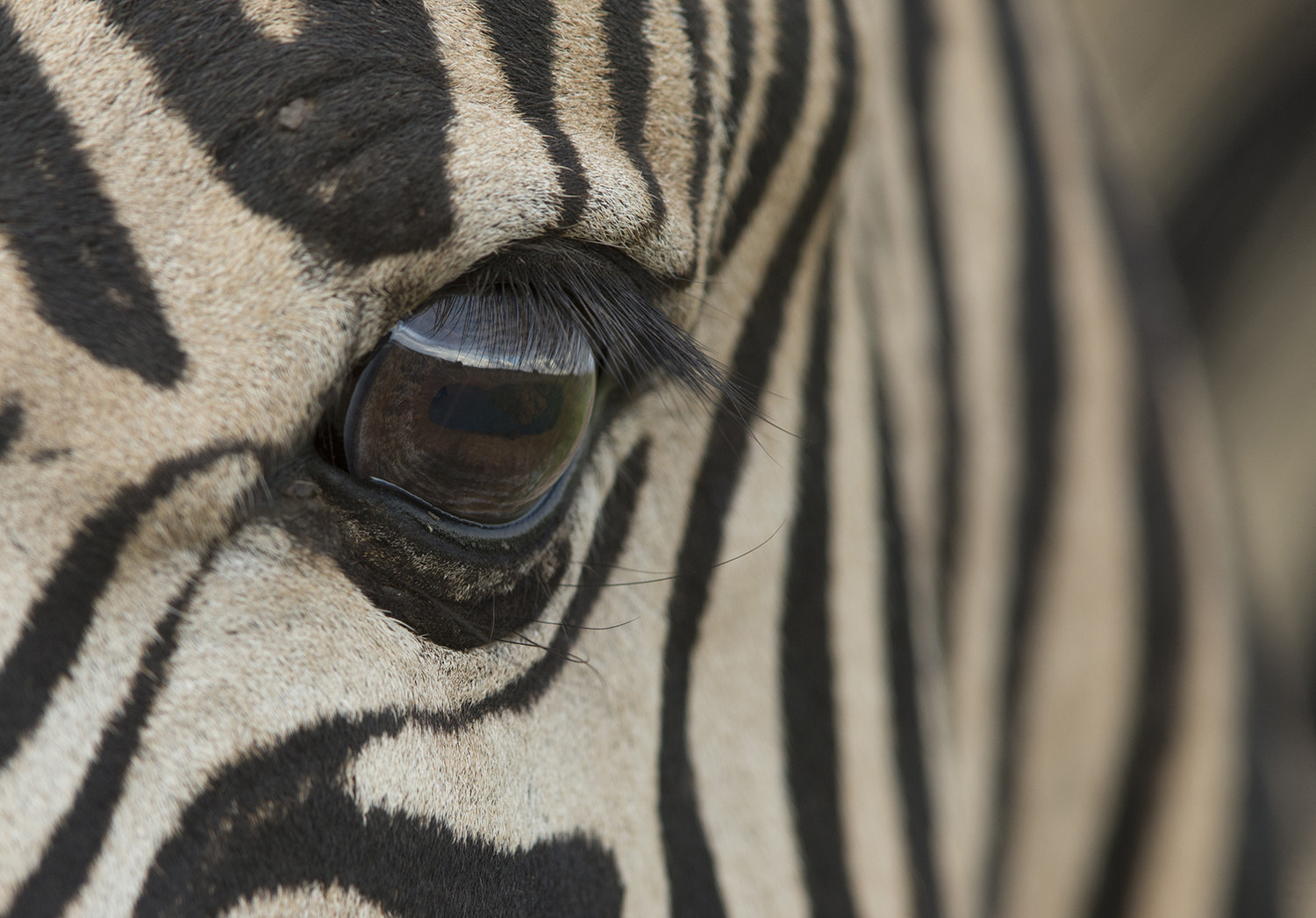 Photograph Zebra vision by Loretta Steyn on 500px