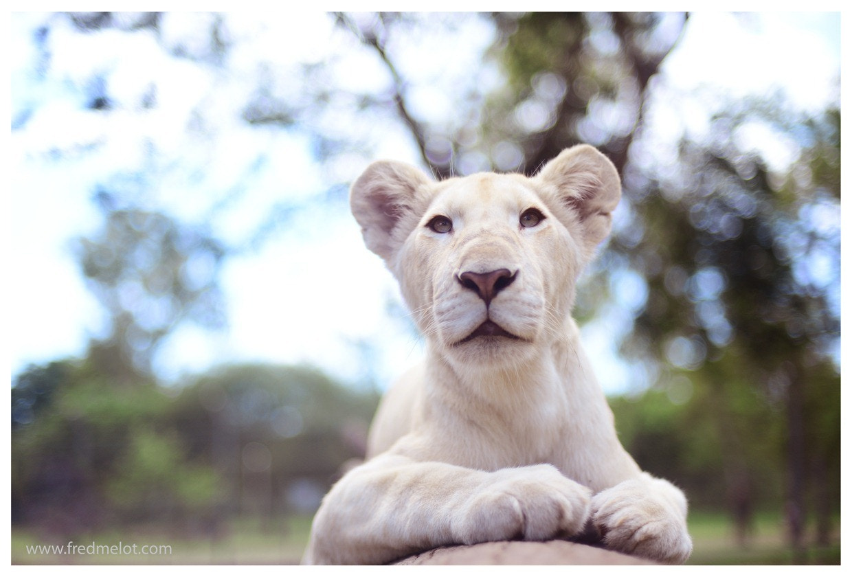 Photograph White Lion by Fred Melot on 500px