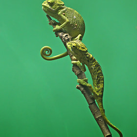 indian chameleon by Hemant Kumar (HemantKumar)) on 500px.com