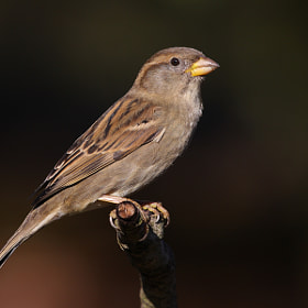 Sparrow by theo dierckx (diethe)) on 500px.com