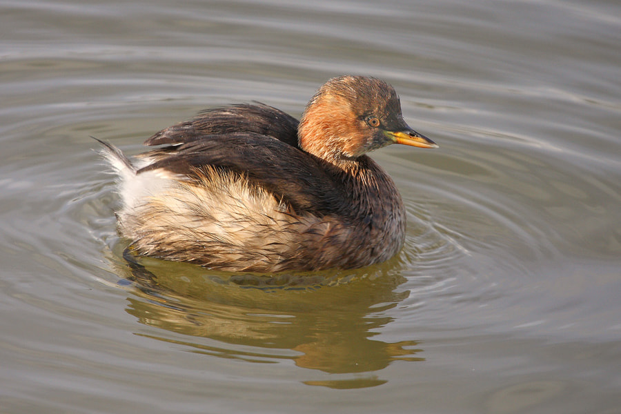 Photograph Little Grebe by theo dierckx on 500px
