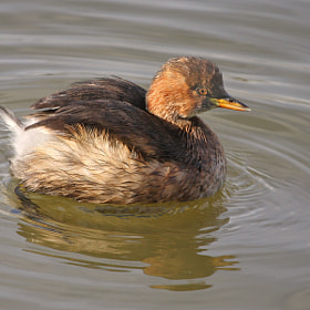 Little Grebe by theo dierckx (diethe)) on 500px.com