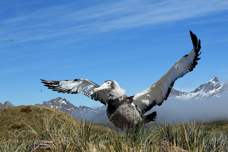 Photograph Wandering Albatross by Mirek Zítek on 500px