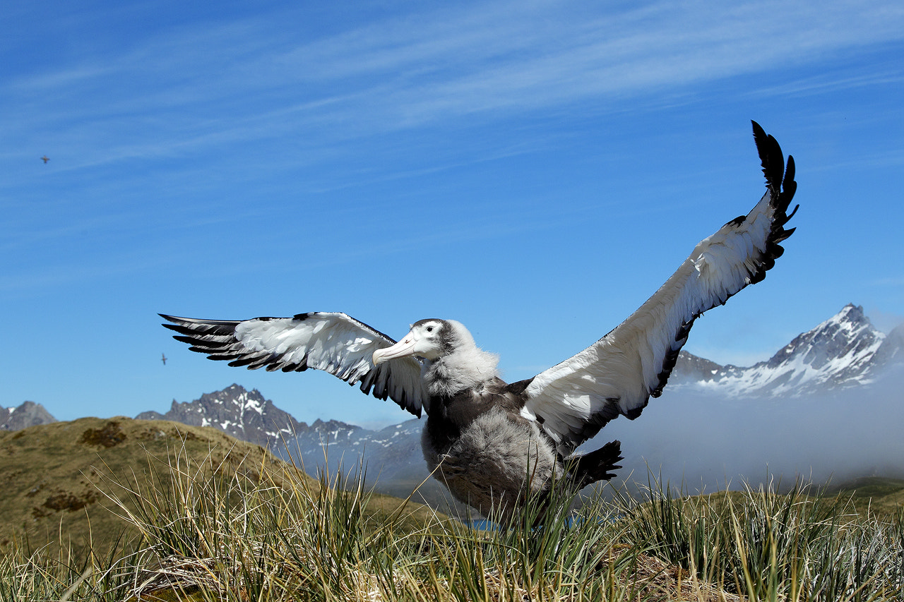 Photograph Wandering Albatross by Mirek Zítek on 500px