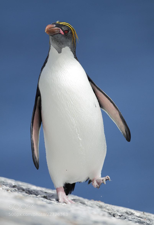 Photograph Macaroni Penguin by Mirek Zítek on 500px