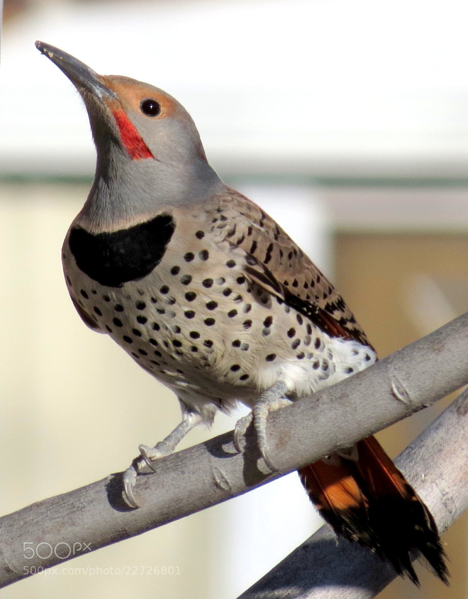 Photograph Red Shafted Northern Flicker Woodpecker by Kevin Fechtelkotter on 500px