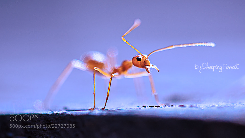 Photograph ant by Aronnsak Teelanuth on 500px