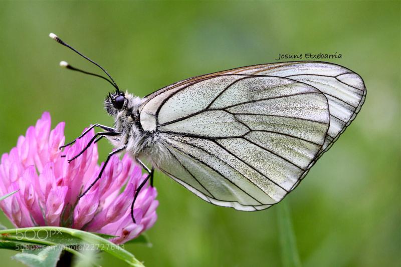 Photograph Aporia Crataegi by Josune Etxebarria on 500px
