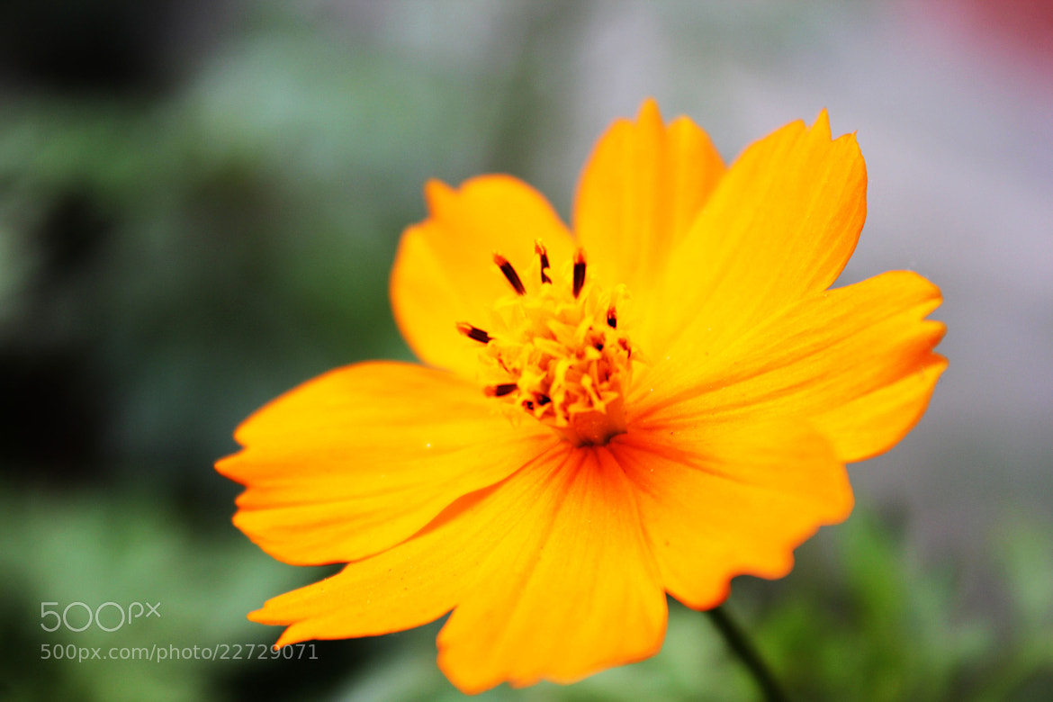 Photograph Cosmos flower by Morshad Alam on 500px