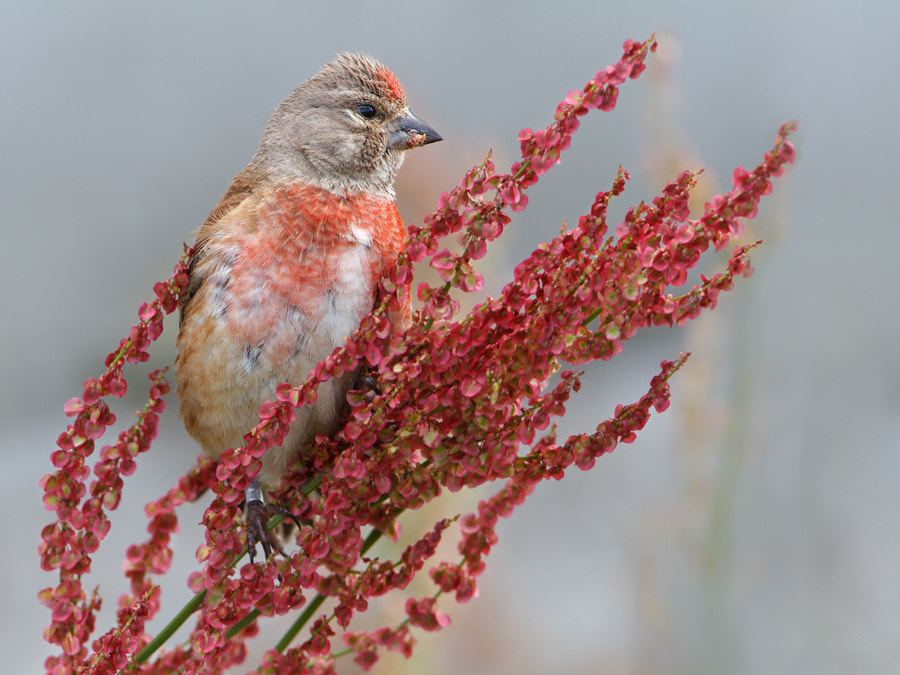 Photograph Common Linnet by Jan Westerhof on 500px
