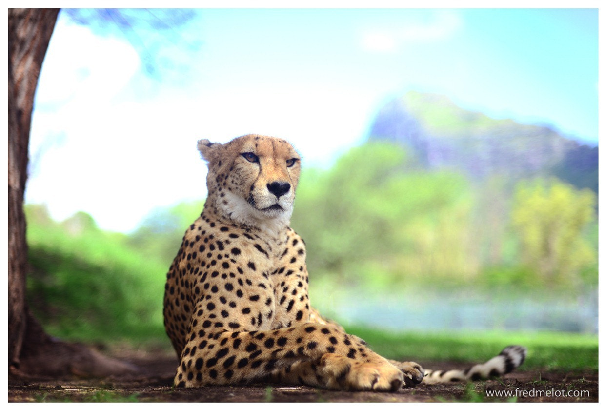 Photograph The Cheetah by Fred Melot on 500px