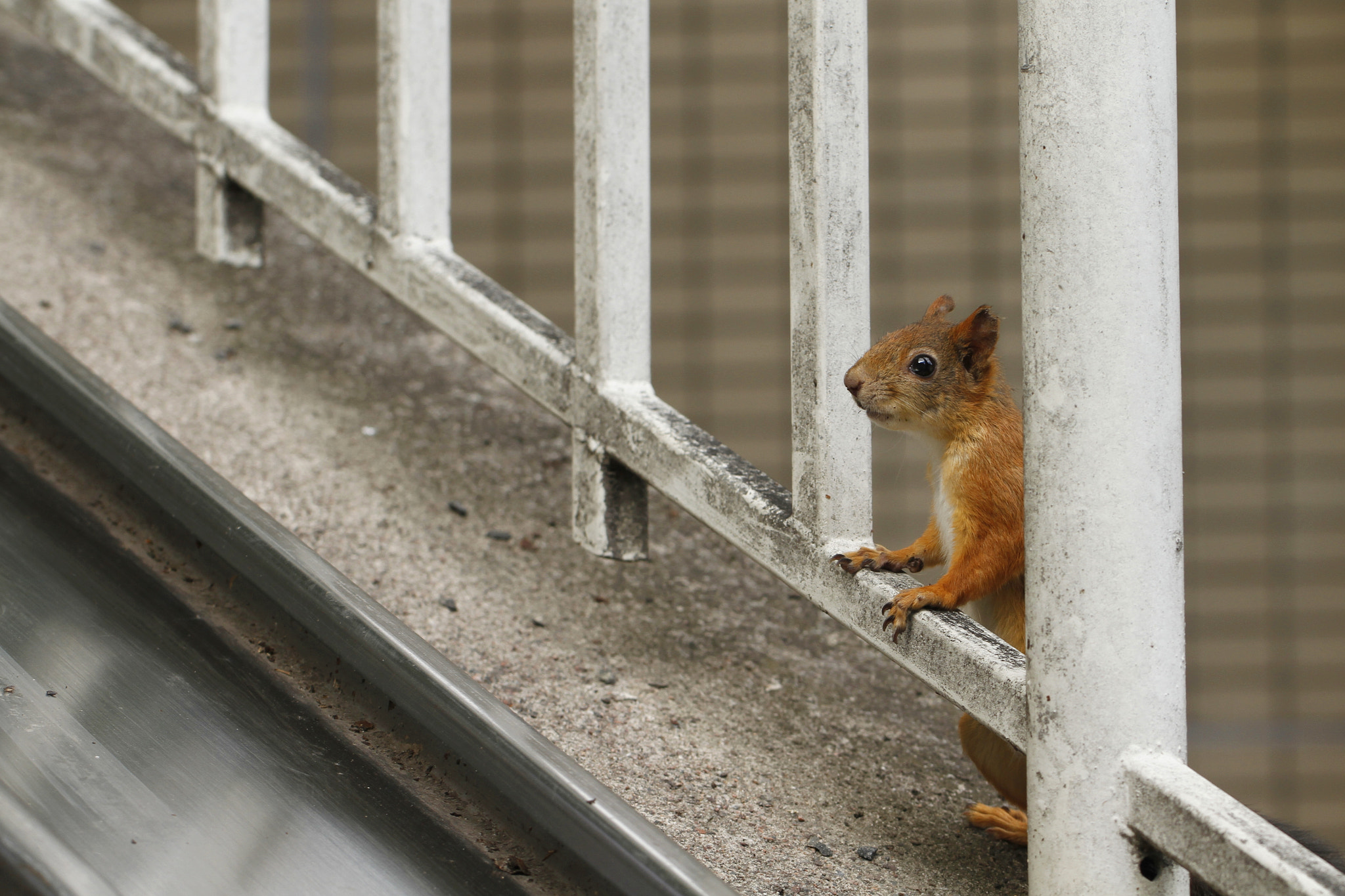 Photograph Urban squirrel by Jukka Palm on 500px