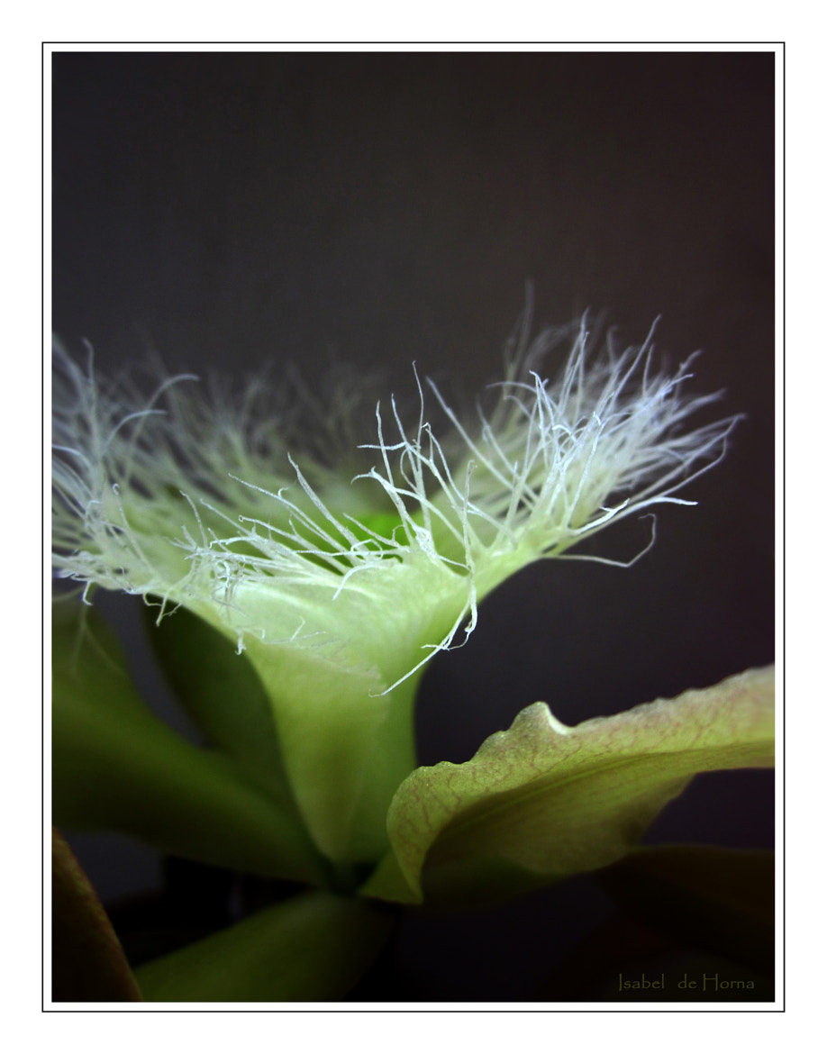 Photograph Brassavola Digbiana by Isabel de Horna on 500px