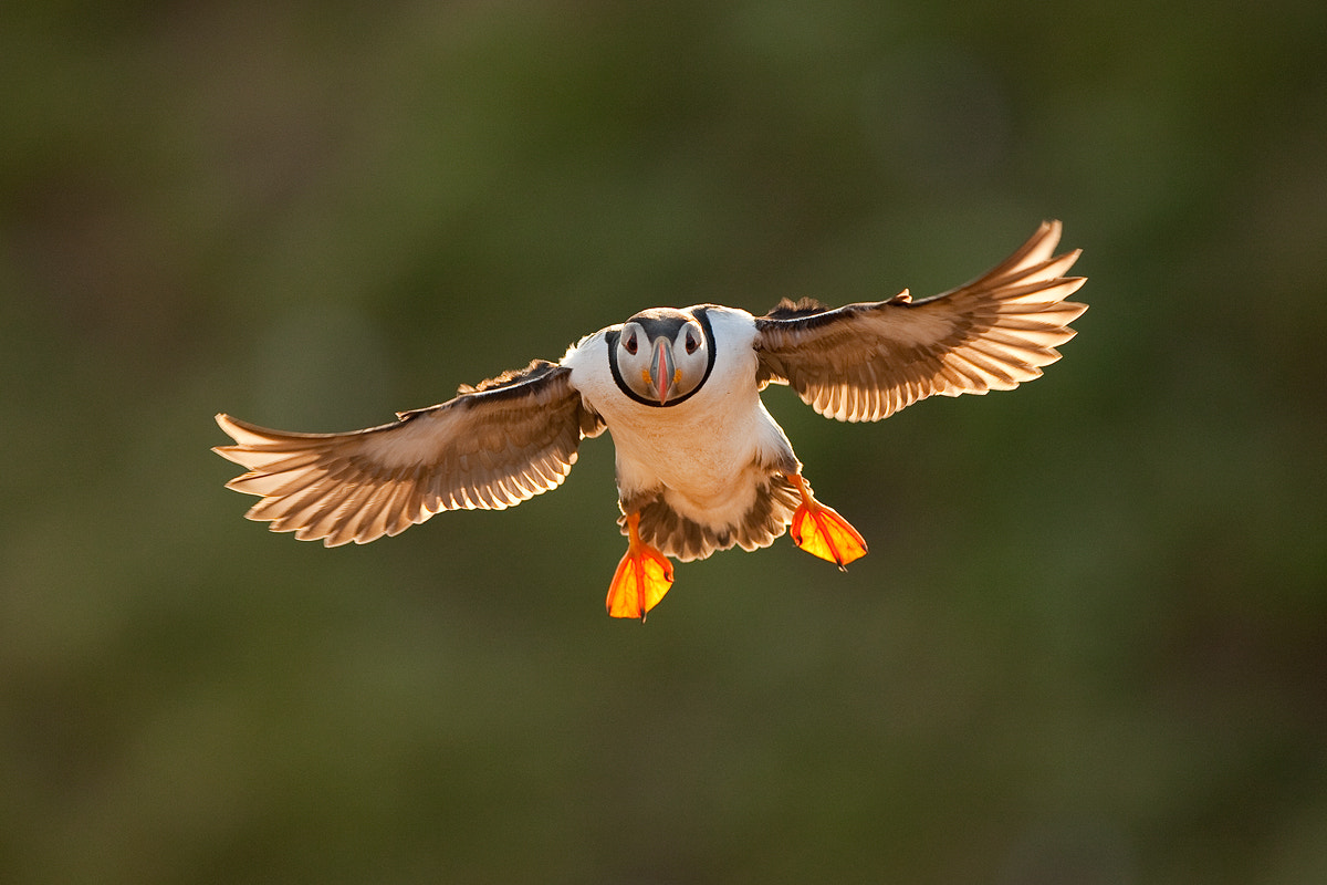 Photograph Puffin in the evening  by René Visser on 500px