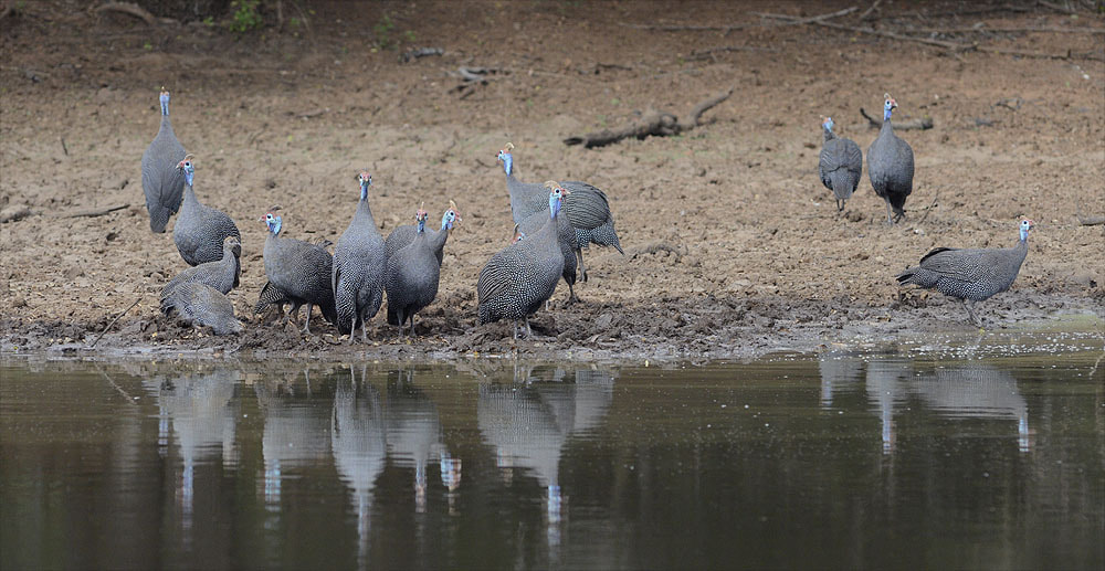 Photograph Helmeted Guineafowl by Chris du Plessis on 500px