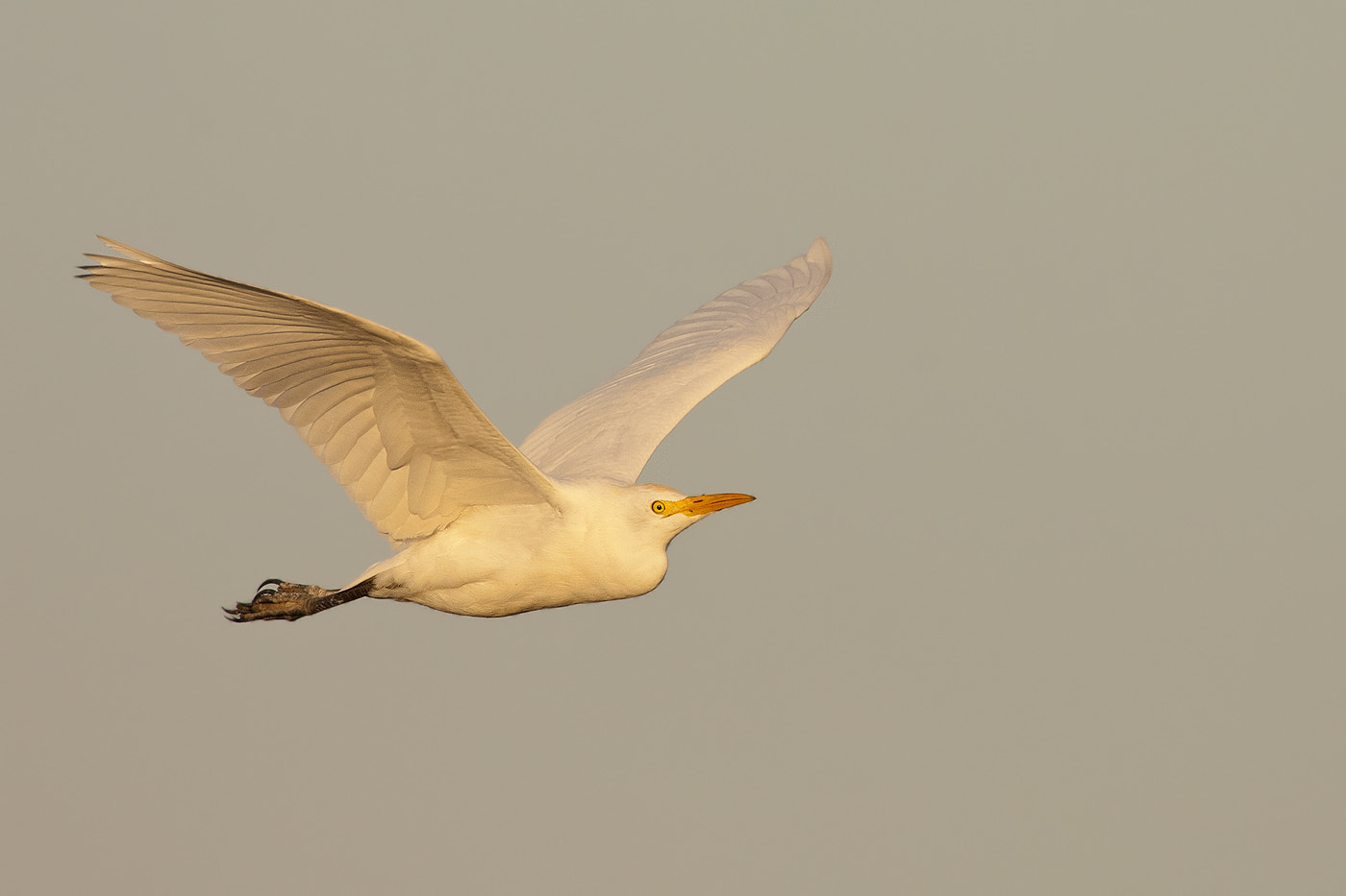 Photograph Cattle Egret by Joe Iocco on 500px
