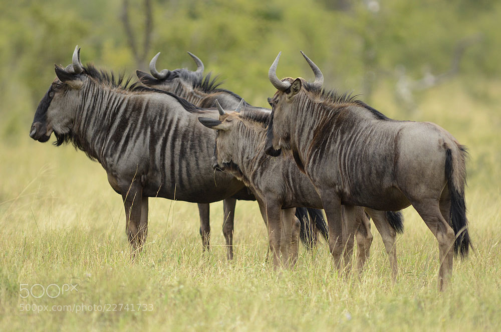 Photograph Blue Wildebeest, Timbavati 01 by Chris du Plessis on 500px