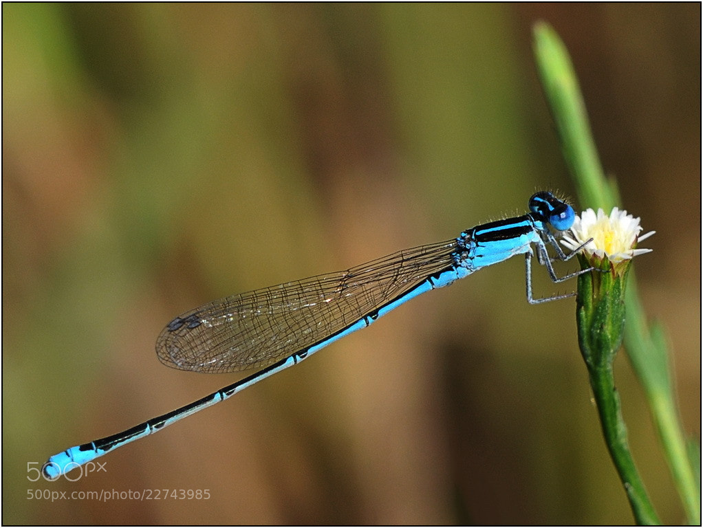 Photograph Damselfly by Marc Leroy on 500px