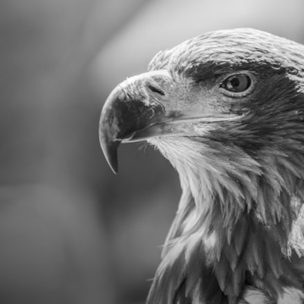 Portrait Eagle